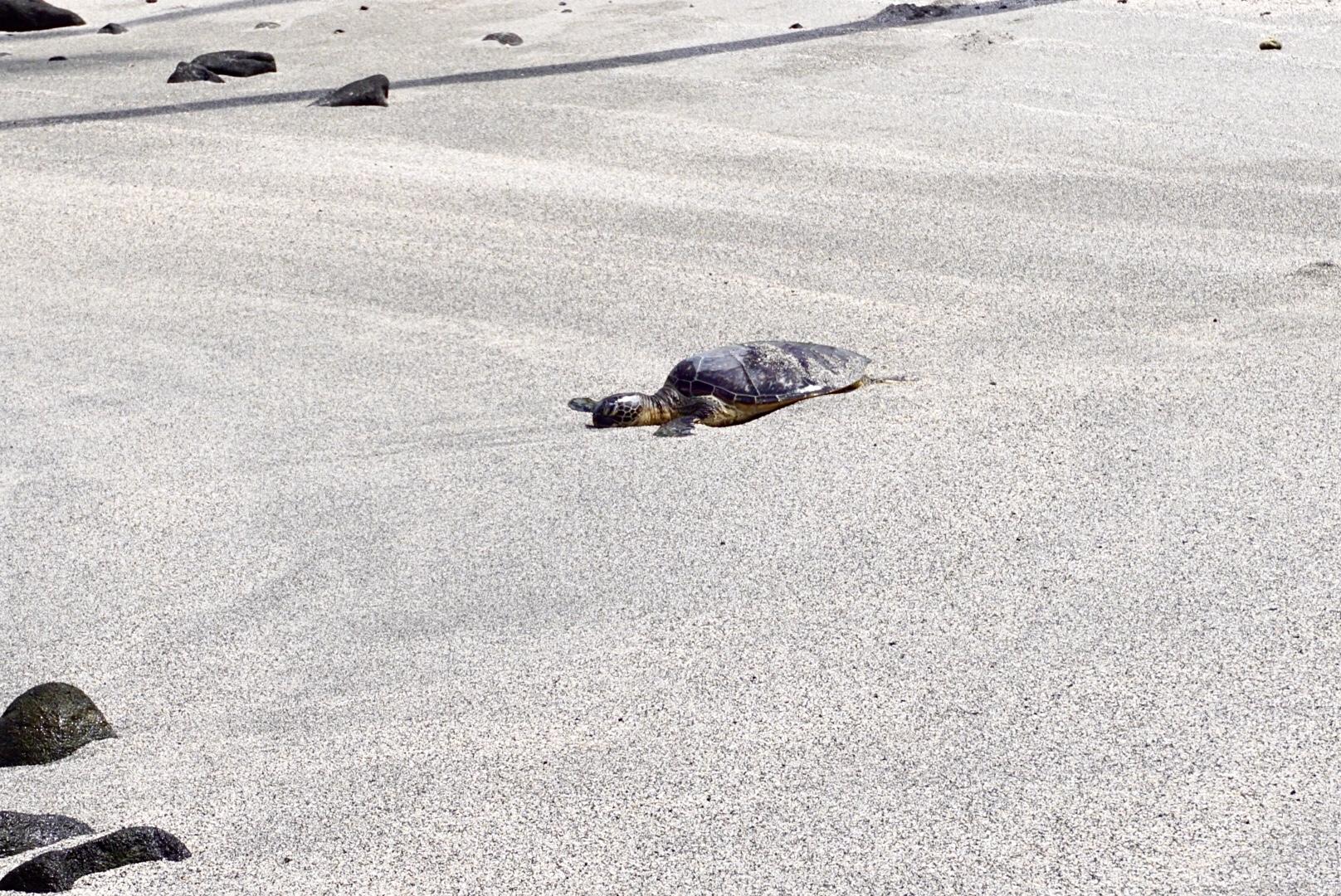 Sea turtle at Pu'uhonua O Hōnaunau National Historical Park on the Big Island of Hawaii