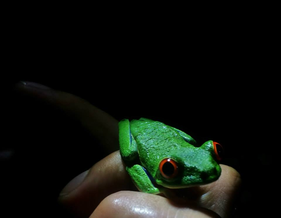 Red Eyed Leaf Tree Frog - Arenal Costa Rica