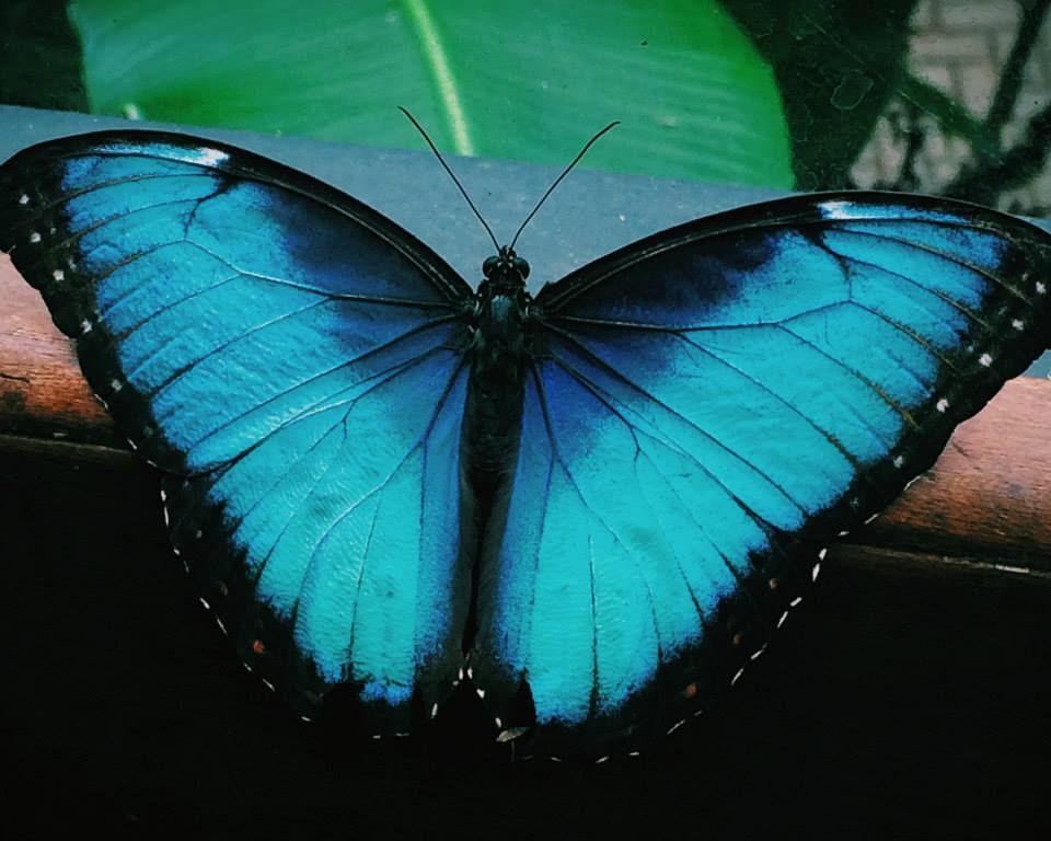 Butterfly - Arenal