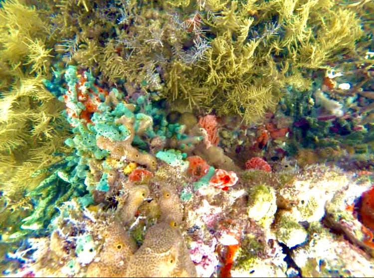 Coral - Bocas del Toro