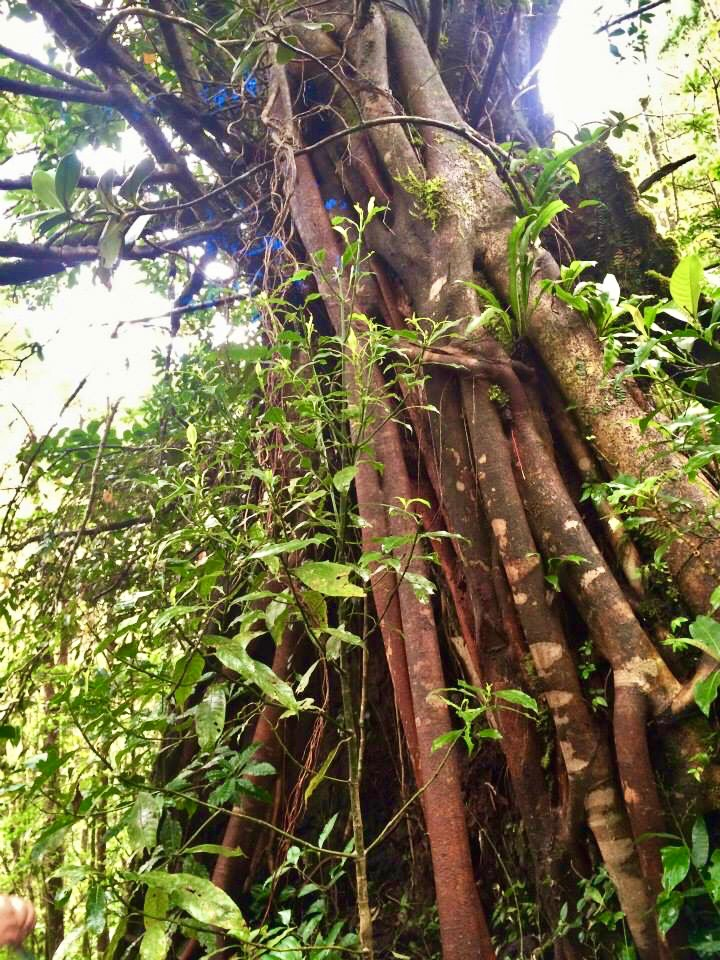 Arenal tree