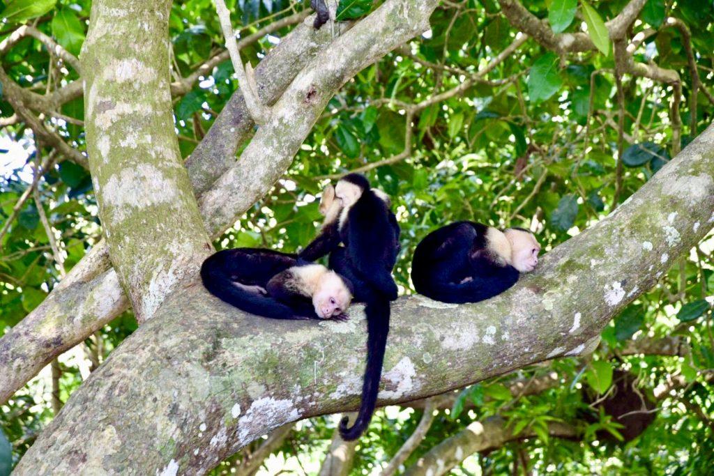 Monkey - Manual Antonio