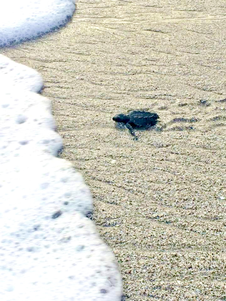 Montezuma Turtle- Costa Rica